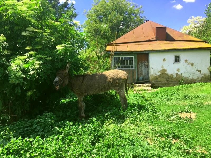 Віслюк в Суботові