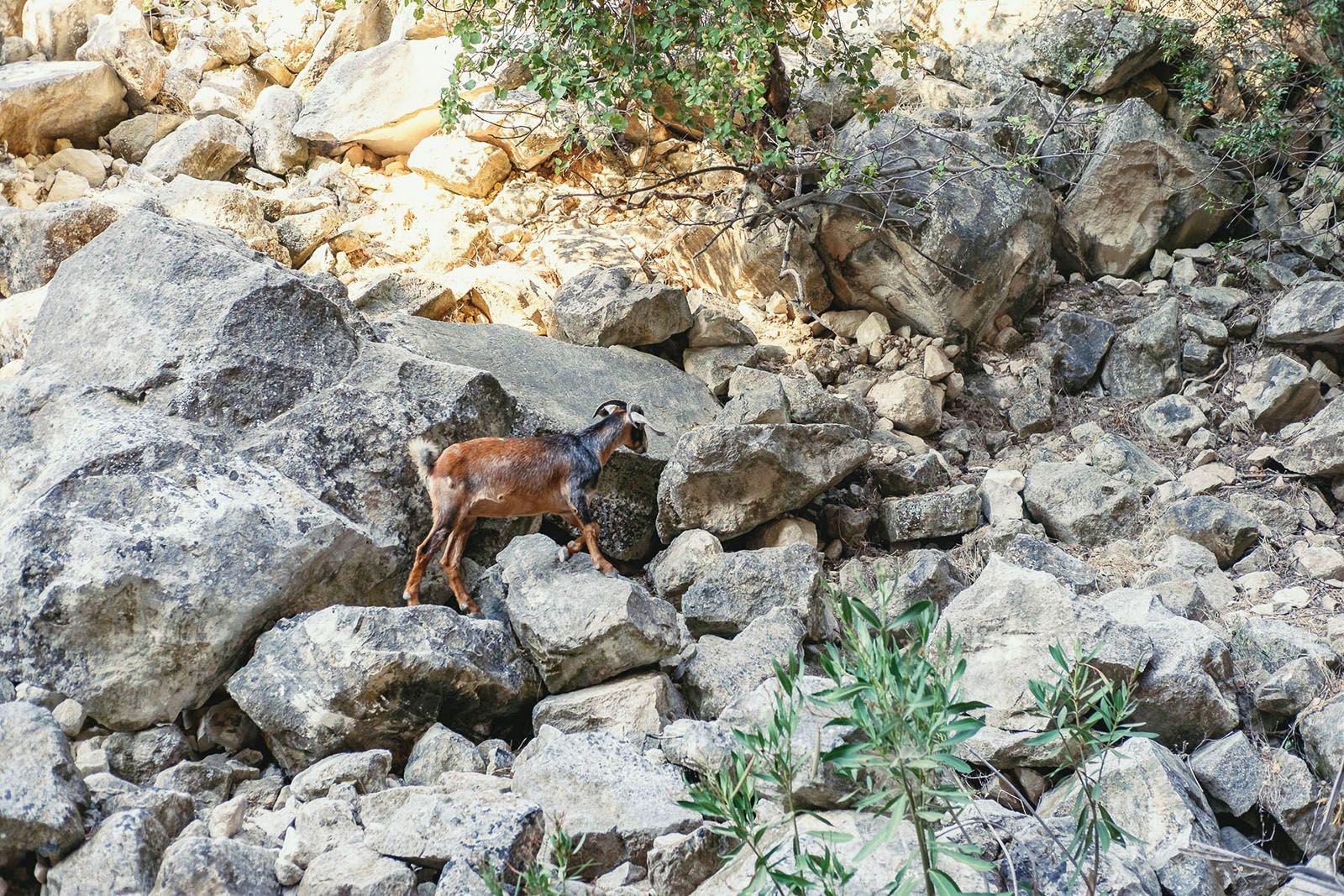 Гірський козел в каньйоні Авакас