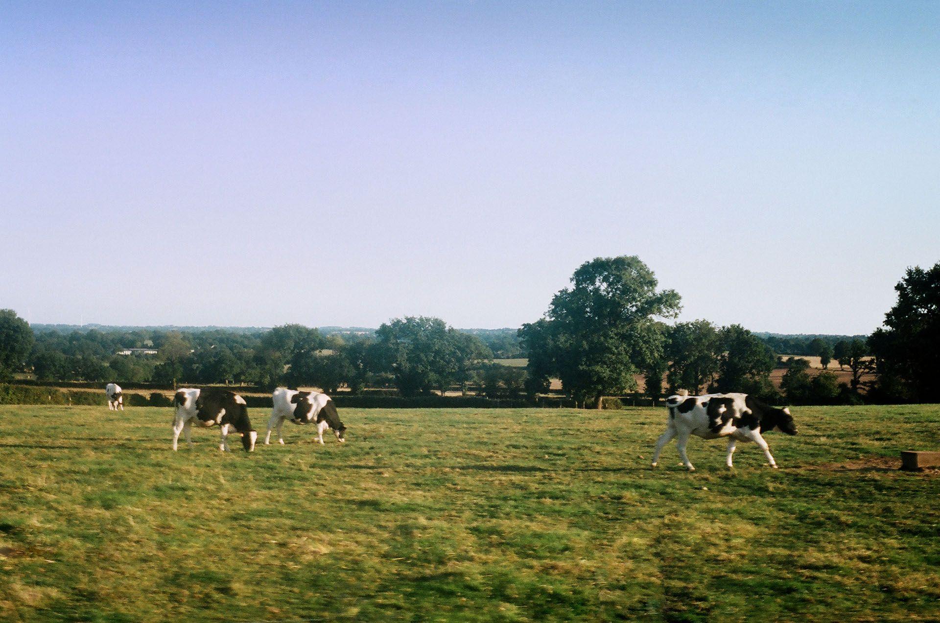 Корови у полі